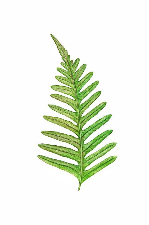 Green, Fern, Leaf, Fresh, Botanical, Botany, Foliage