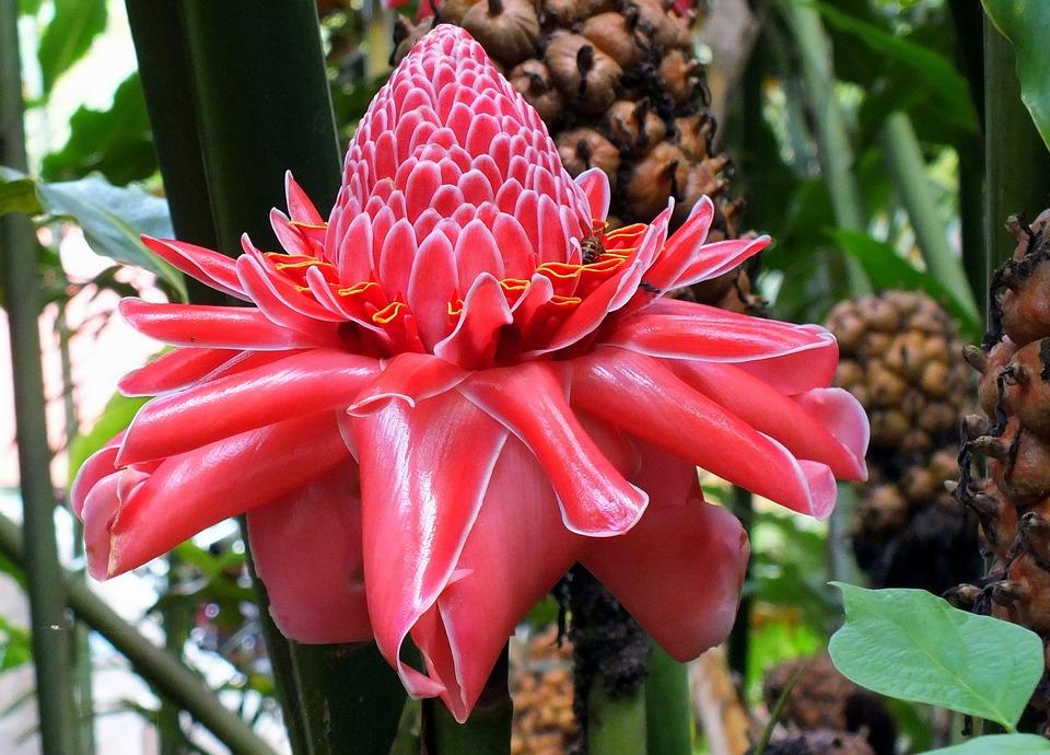 Free Photo Botanical Tropical Plant Pink Flower Blooming Max Pixel
