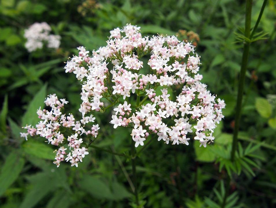 Valerian, Blossom, Bloom, Botany, Nature, German, Pink