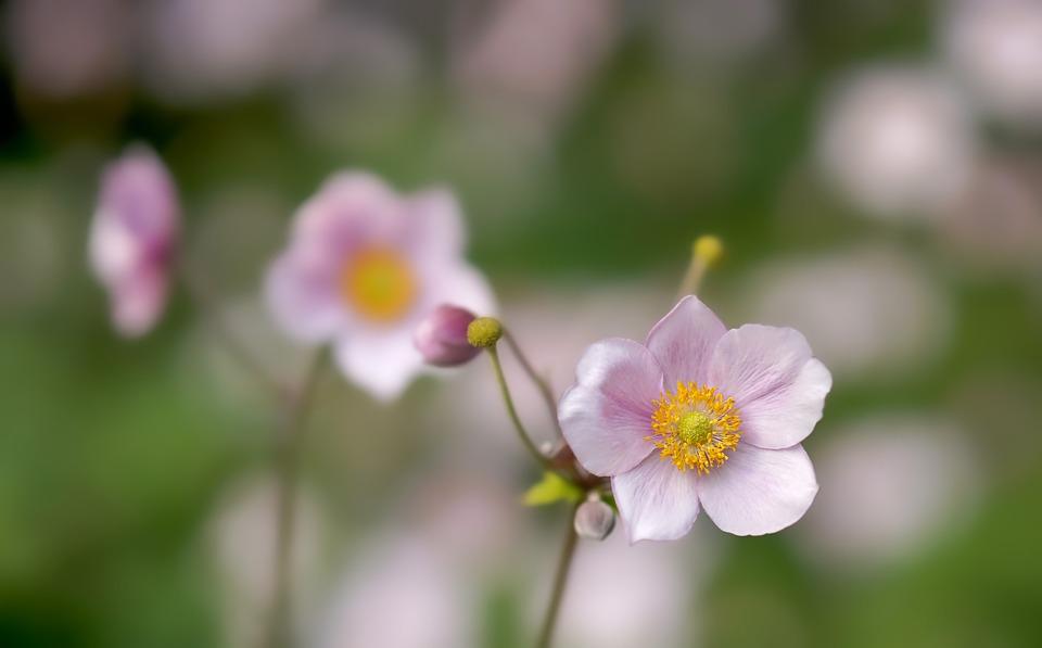 Flower, Anemone, Bloom, Blossom, Growth, Botany, Petals
