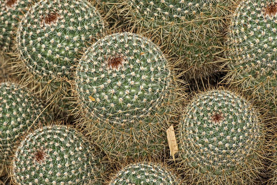 Mammilaria Spinossisima, Cactus, Botanical, Botany