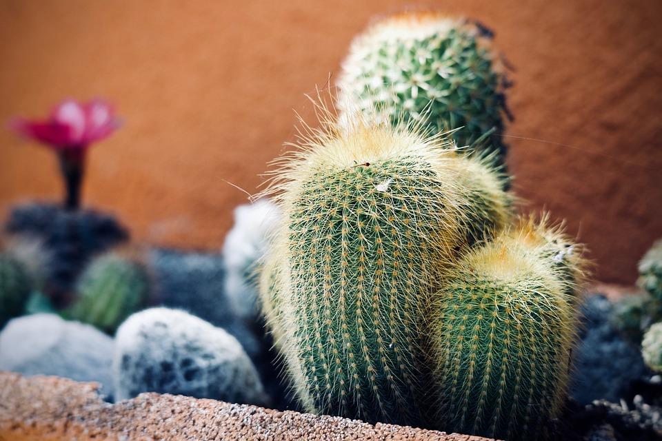 Plants, Fat Plants, Cactus, Thorns, Flowers, Botany