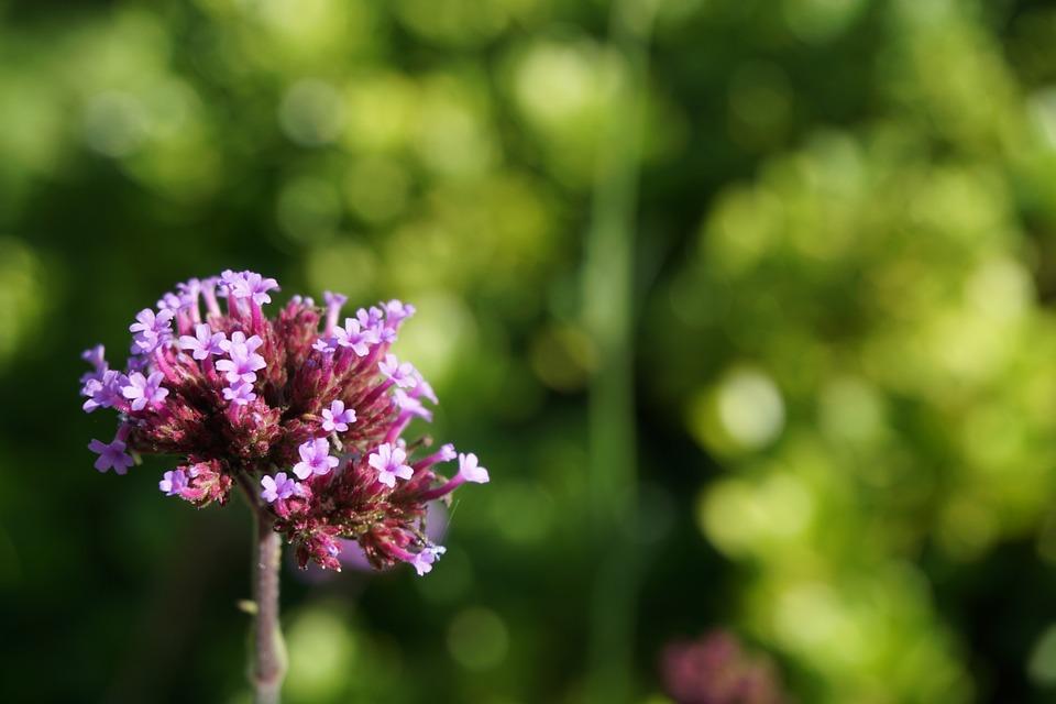 Flower, Garden, Botany, Botanical Garden, Purple Flower