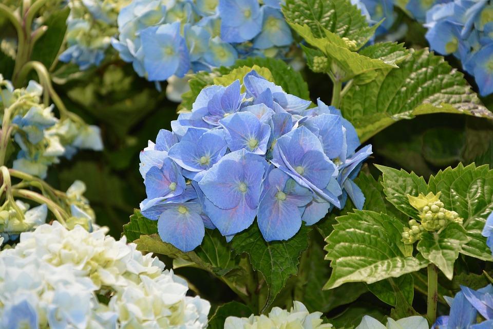 Hydrangea, Blue Flower, Pretty, Garden, Botany
