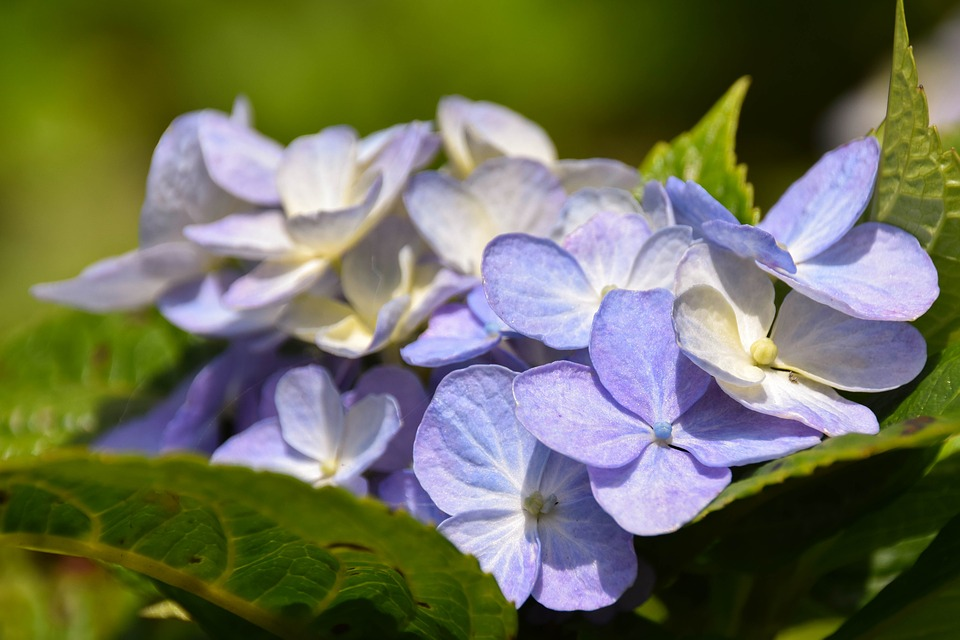 Hydrangea, Bali, Indonesia, Travel, Nature, Botany