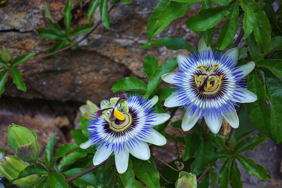 Passionflower, Flower, Botany, Nature