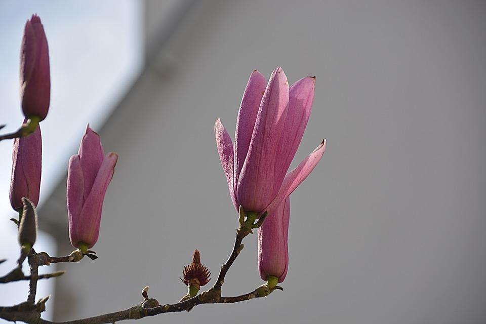 Magnolias, Flowers, Spring, Nature, Flowering, Botany