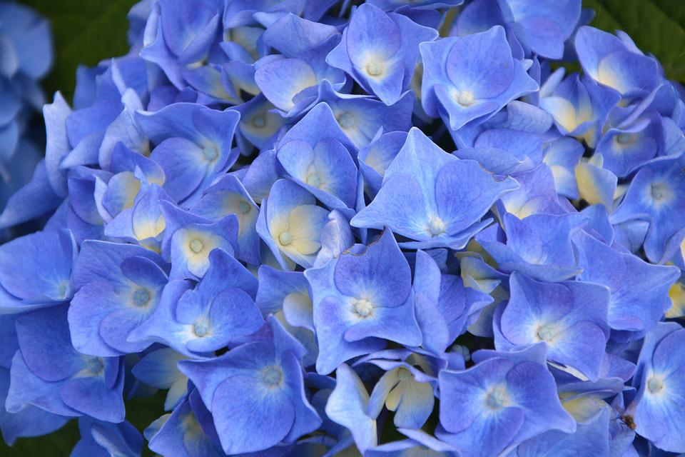 Hydrangea Blue, Garden, Nature, Flowering, Botany
