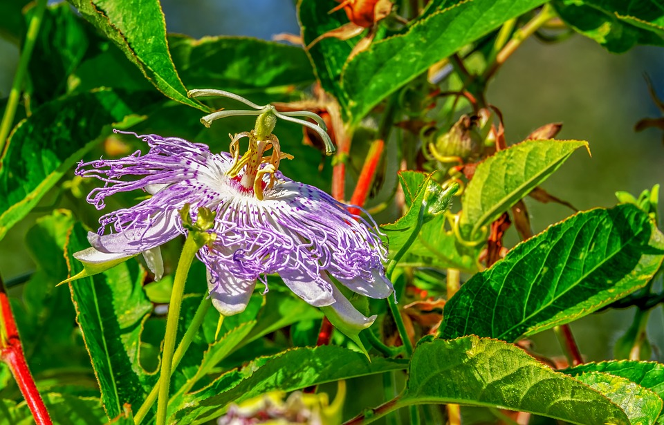 Flower, Passion Flower, Botany, Passiflora