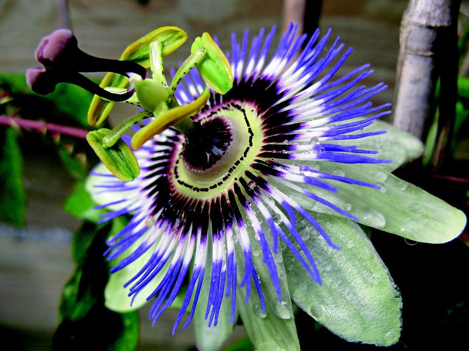 Flower, Passionflower, Garden, Creeper, Botany