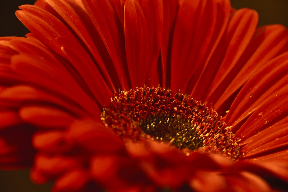 Gerbera, Flower, Petal, Petals, Orange, Botany, Flora