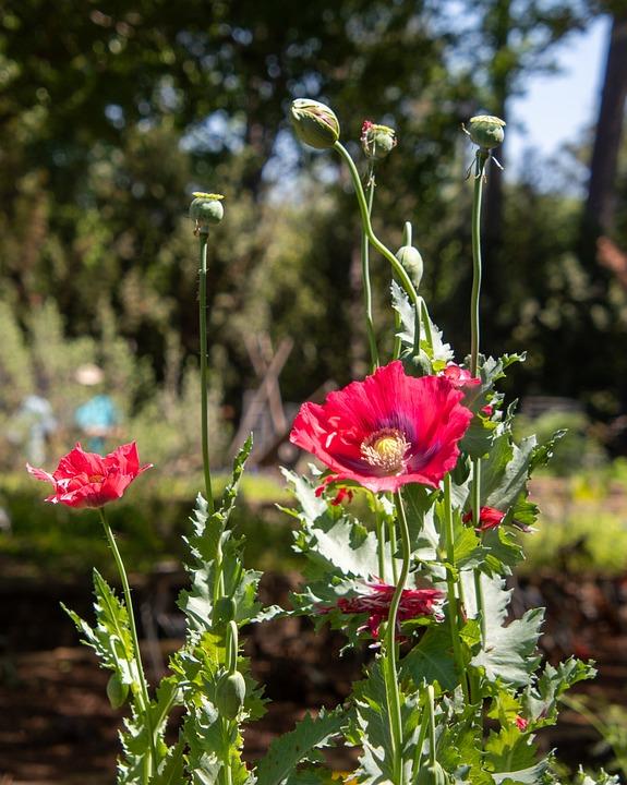 Poppy Flowers, Bloom, Plants, Spring, Botany
