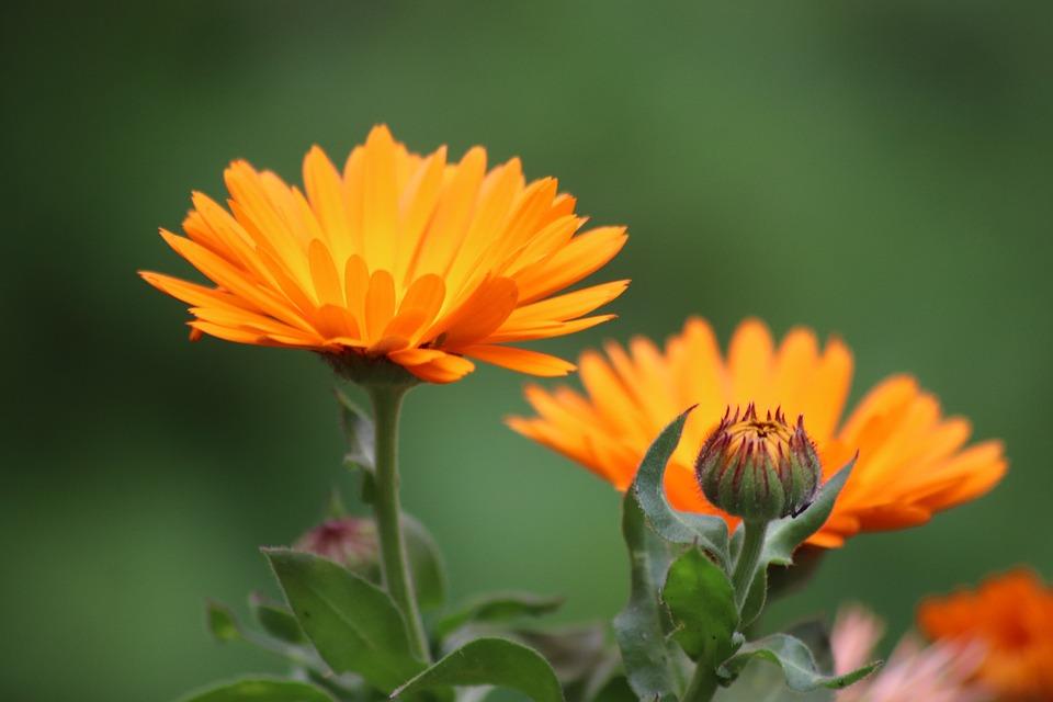 Worries, Marigold, Flowers, Orange, Plants, Botany