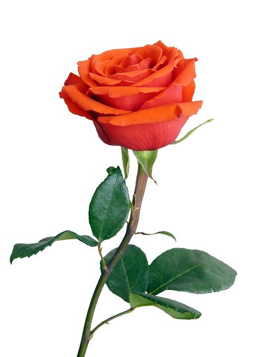 Rose, Red, Flower, Flora, Botany, Painting, Vase, Love