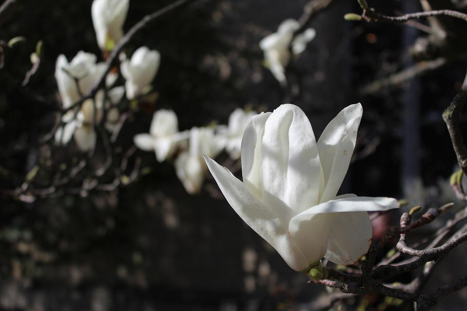 Magnolia, White, Flower, Spring, Nature, Botany