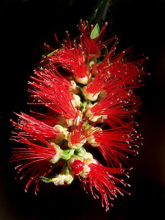 Flower, Bottle Brush, Native, Tree, Garden Nature