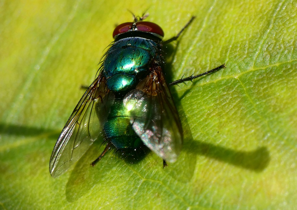 Fly, Green, Bottle, Insect, Nature, Common