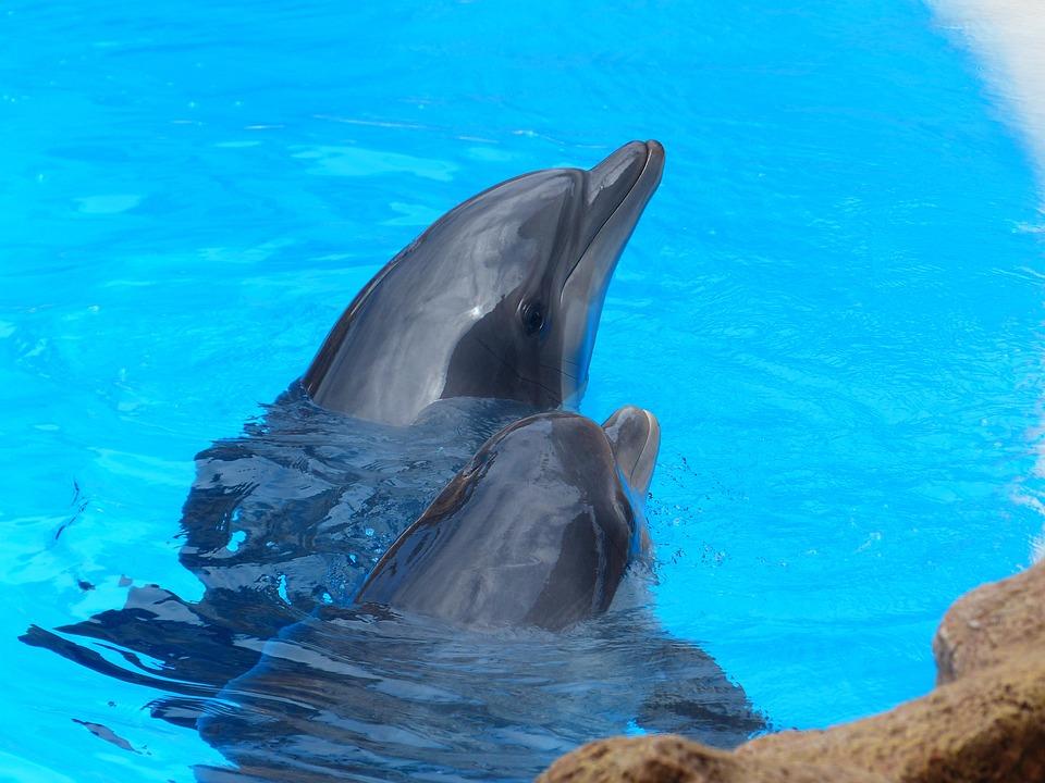 Bottlenose Dolphin, Tursiops Truncatus, Dolphins
