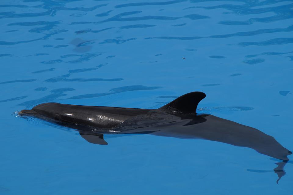 Dolphin, Bottlenose Dolphin, Marine Mammals, Mammals