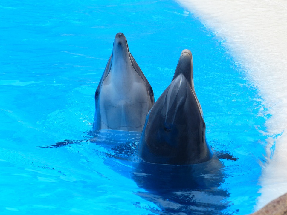 Bottlenose Dolphin, Tursiops Truncatus, Dolphins, Snout