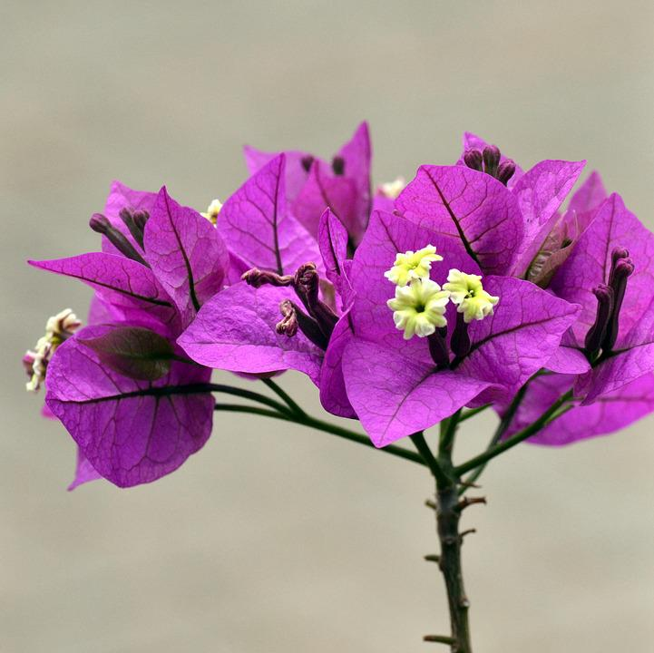 Purple, Bougainvilla, Spring