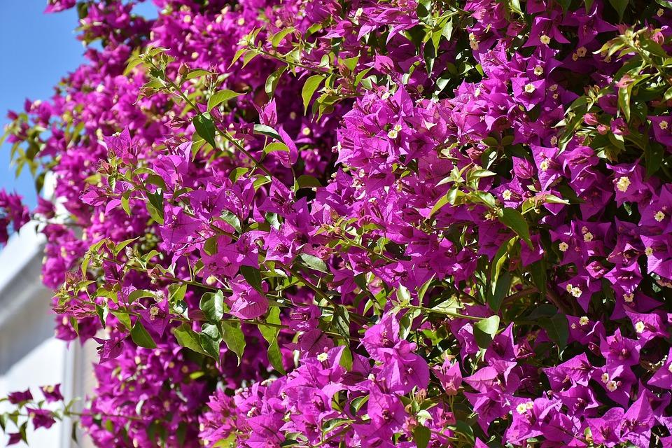 Bougainvillea, Bougainville, Triple Flower