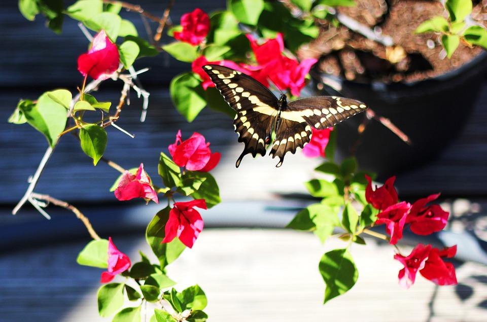 Butterfly, Backyard, Bougainvillea, Pink Flowers, Plant