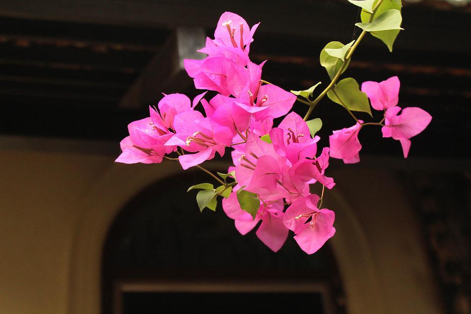 Bougainvillea, Pink, Nature, Stem, Colorful, Purple