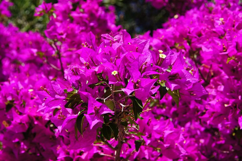 Bougainvillea, Flowers, Purple