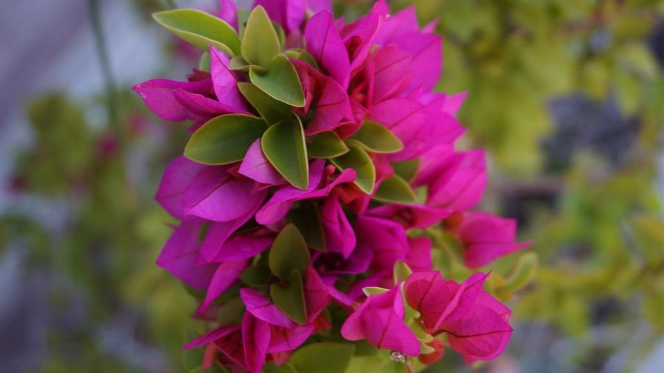 Bougainvillea, Flowers, Garden, Bougainvillea Glabra