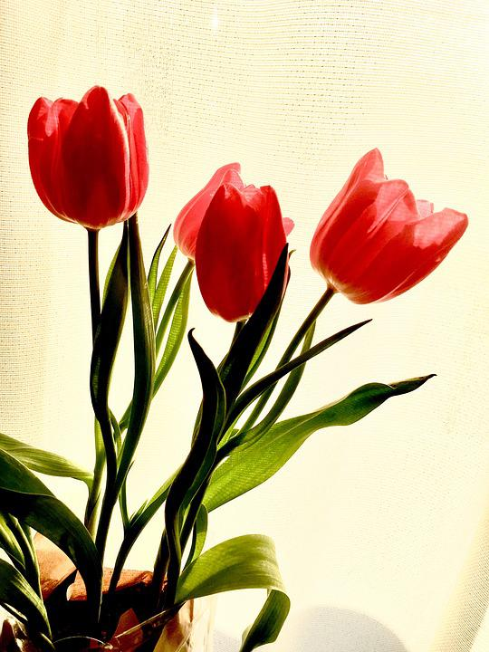 Red, Spring, Flowers, Tulips, Bouquet