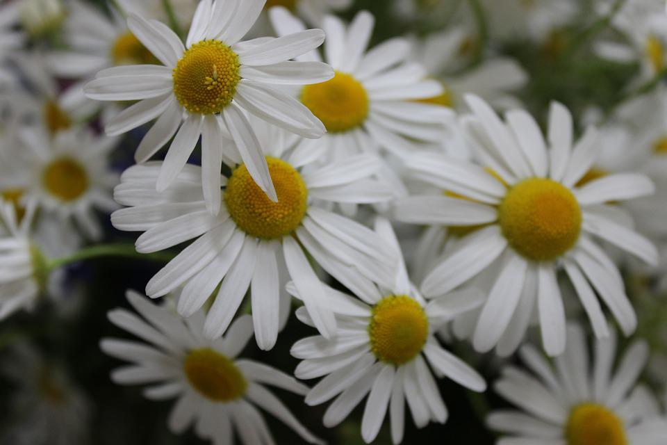 Flowers, Meadow, Spring, Bouquet, Chamomile, Camomile