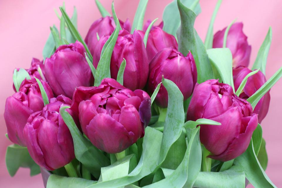 Tulips, Bouquet, Purple, Pink, Spring, Holiday, March 8