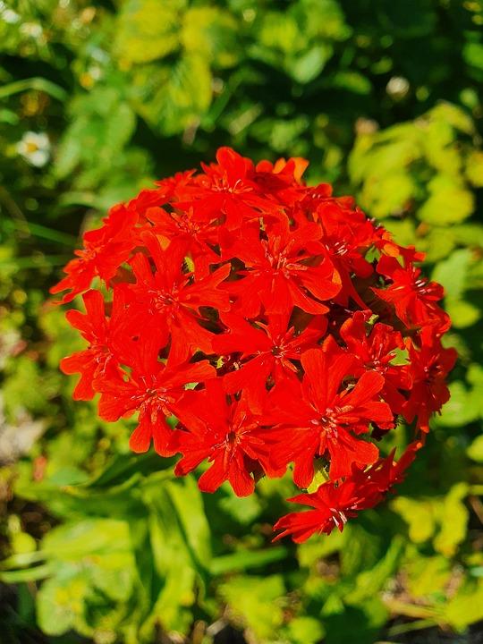 Clove, Red, Flower, Aroma, Bouquet, Summer