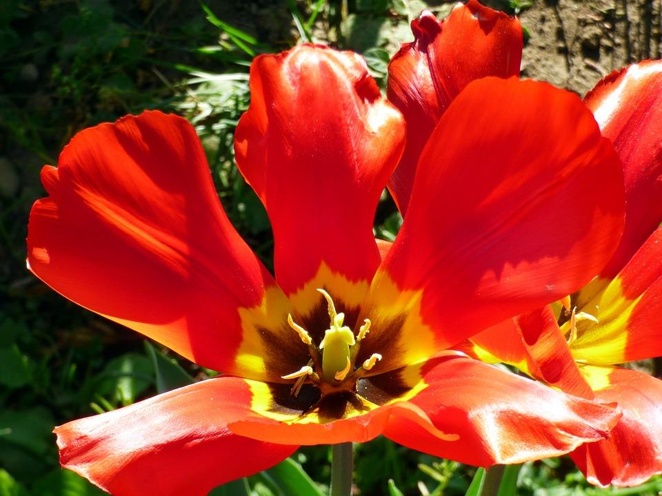 Tulips, Flowers, Spring, Garden, Nature, Bouquet
