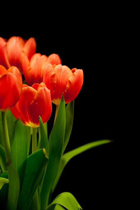 Tulips, Tulip Bouquet, Flowers, Bouquet, Reddish, Red