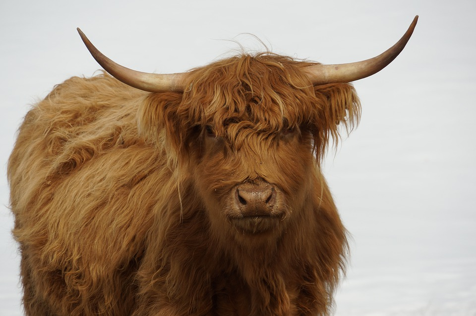 Cow, Bovine, Rare Breed, Colored, Farm, Animal