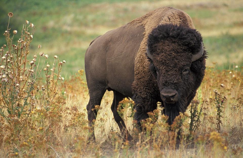 Bison, Buffalo, Usa, Beef, Wild, Wilderness, Bovini