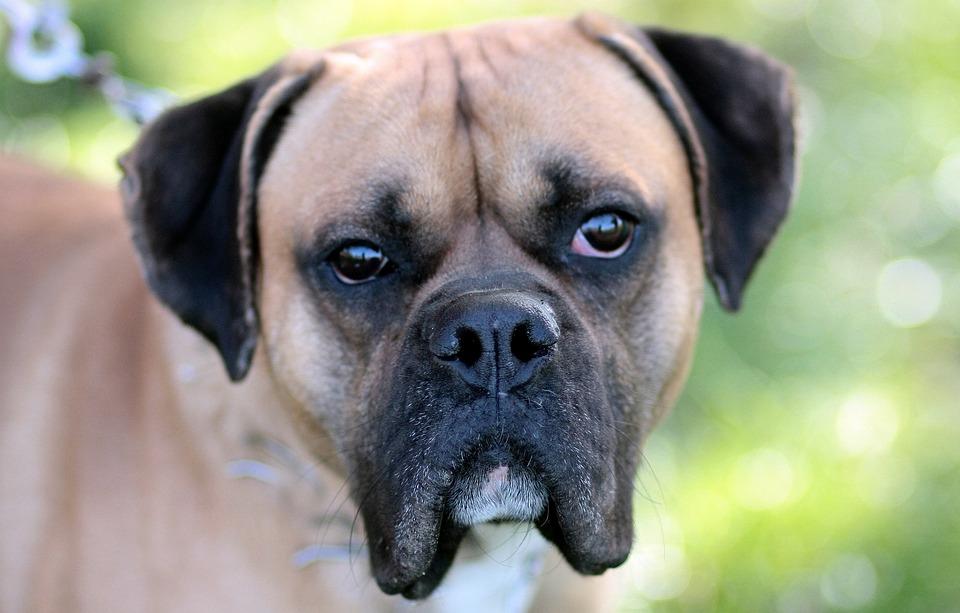 Dog, Boxer, Brown, Bot, Portrait
