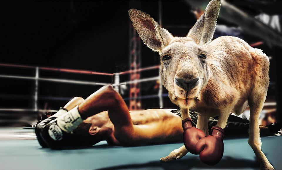 Box, Boxing Match, Kangaroo, Boxing Gloves, Sport