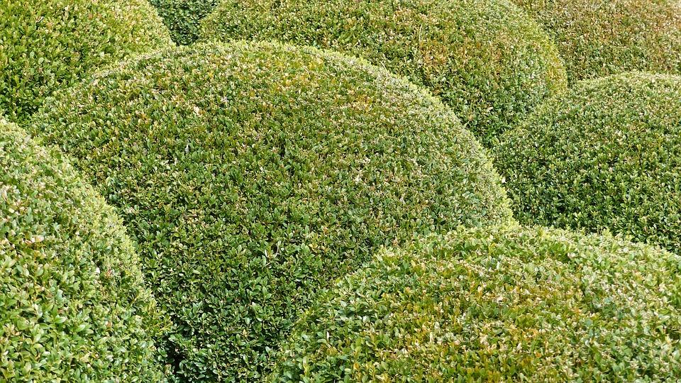 Plants, Nature, Garden, Massif, Boxwood, Bowls, Green