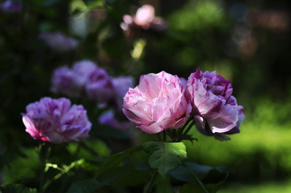 Rose, White, Red, Honorine, Brabant, Historically