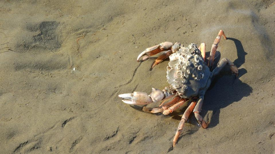 Crab, Pincers, Brachyura, Beach, Coast, Mud