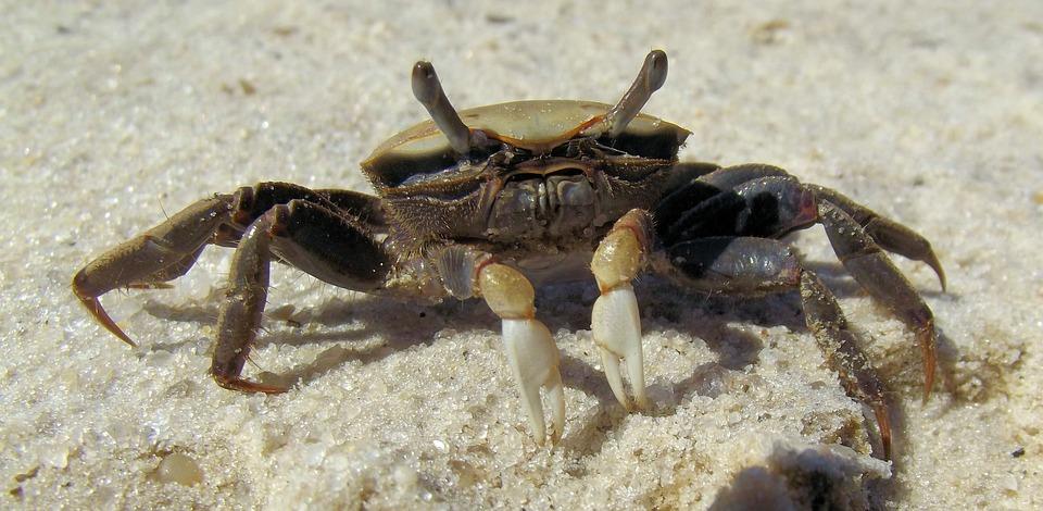 She Crab, Fiddler Crab, Brackish, Salt Water, Sand