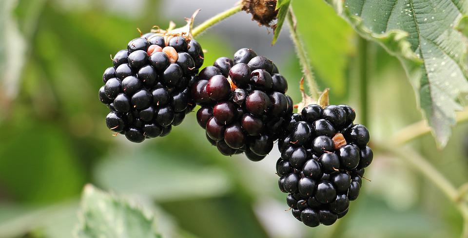 Blackberries, Bramble, Berries, Bush, Nature, Vitamins