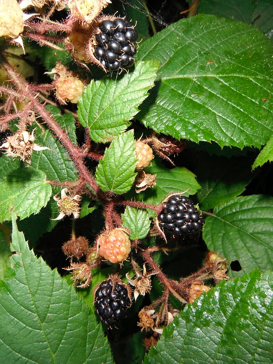 Blackberries, Berries, Brambles, Fruits, Berry, Plant