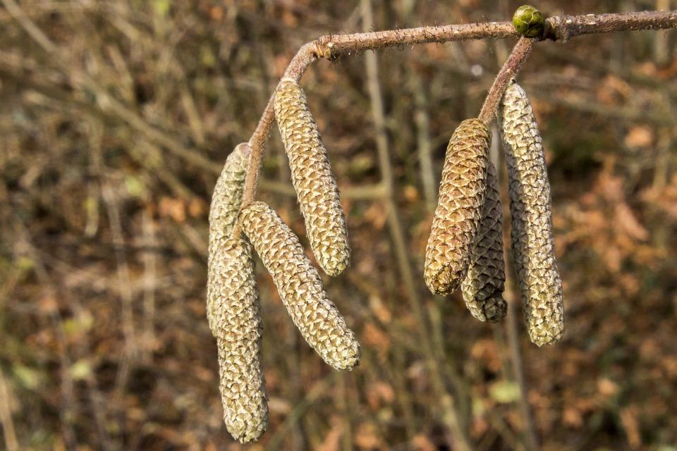 Hazel, Dace, Hazelnut, Pollen, Allergy, Forest, Branch