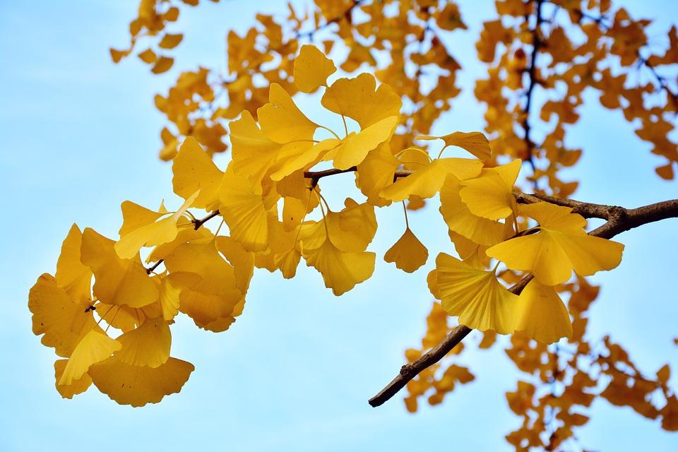 free photo branch autumn gingko leaves ginkgo tree tree max pixel
