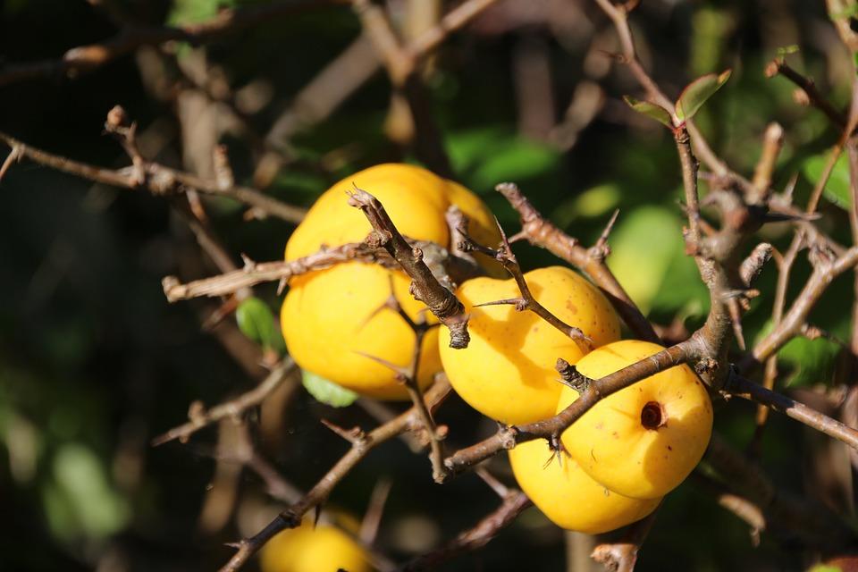 Zieraepfel, Nature, Autumn, Yellow, Apple, Bush, Branch