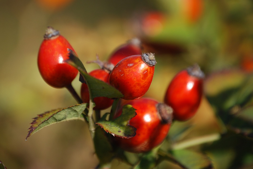 Rosehips, Berry, Branch, Plant, Red, Nature